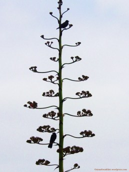 1 Crows on century plant treasure island laguna beach